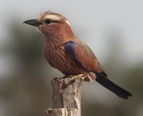 Rufous-crowned Roller