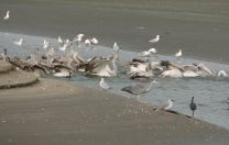 Feeding shorebirds